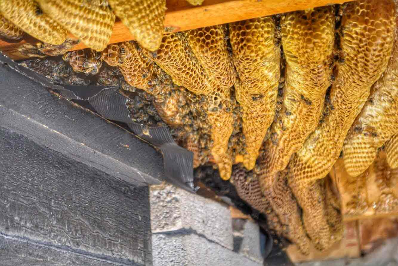 beehive-removal-rescue-austin-dallas-texas